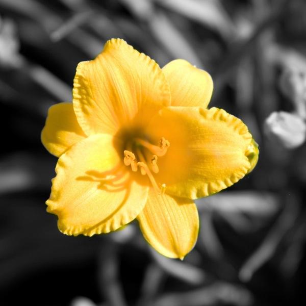 Flower edited in color splash studio pro